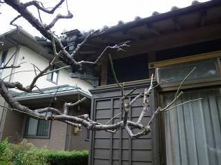 葉が出ないウメの木